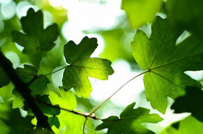 Des feuilles vertes, sombres et claires